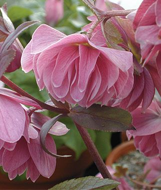 Kingston Cardinal Hellebore // Nodding, double-flowers in a raspberry mauve appear in