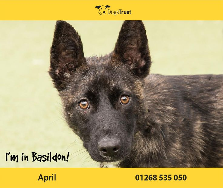 April here from Basildon is looking for owners who will continue her training and help her grow into a well adjusted adult dog. April can be worried by other dogs and requires slow positive introductions. April is currently in foster care so adopters must contact the centre to arrange an appointment to meet with her.