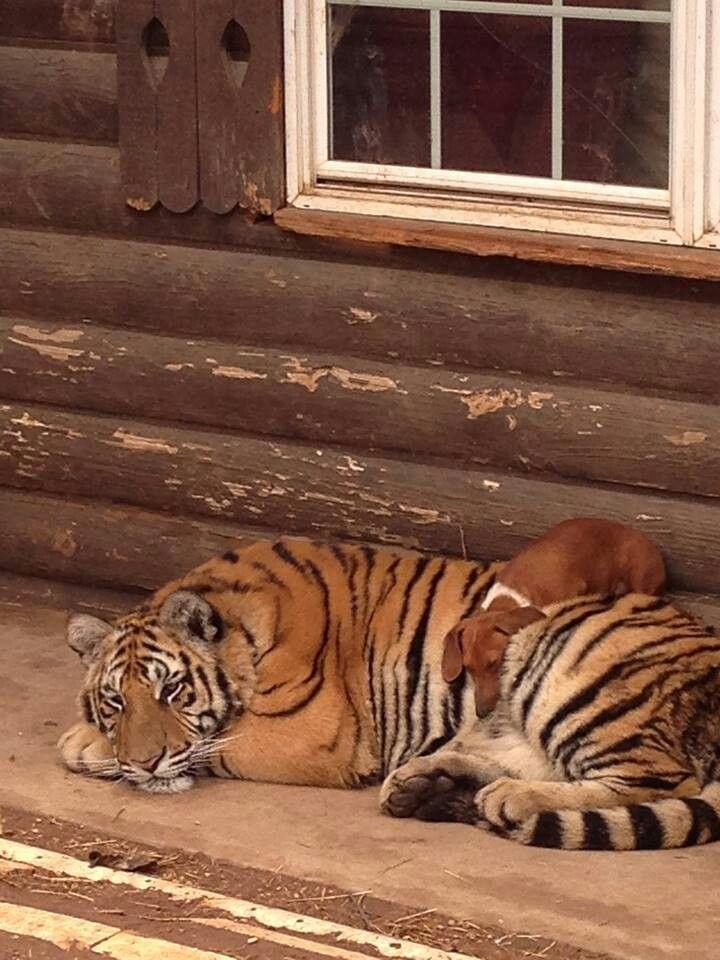 Amazing wildlife - Tiger and dachshund (dackel, wiener dog) photo #tigers