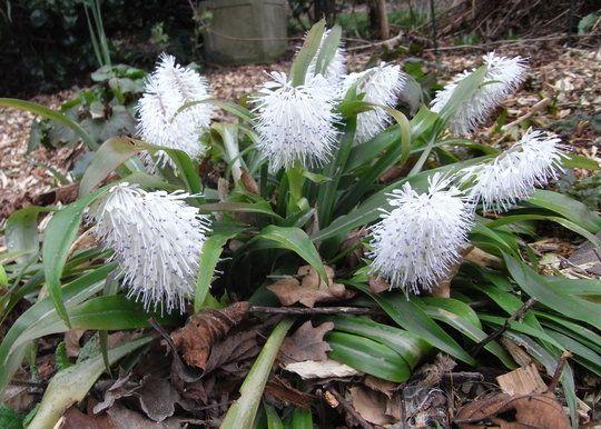 Ypsilandra thibetica China: Sichuan, Hunan, Guangxi; Taiwan Evergreen, hardy rhizomatous perennial Moist shade, flowers Feb-March