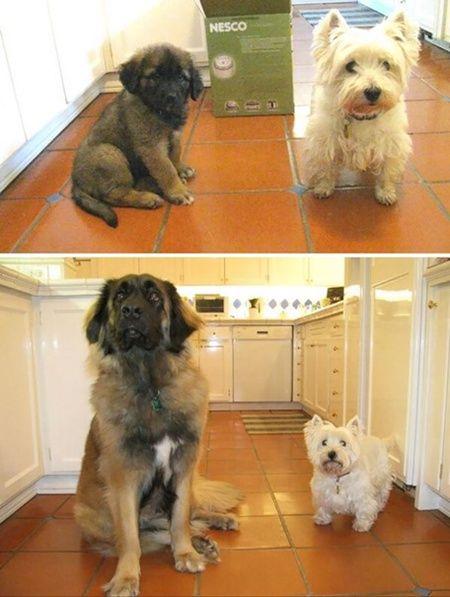 Foto : Anjing putih yang dulu lebih besar dari anjing cokelat, kini ia jadi lebih kecil. :D | Vemale.com, Halaman 6