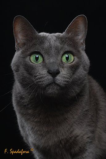 Korat cat, kind of looks like my cat but she is not this breed