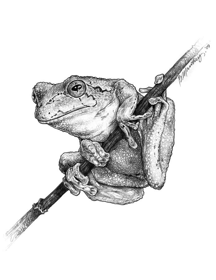 Frog Drawing  - Tree Frog Fine Art Print
