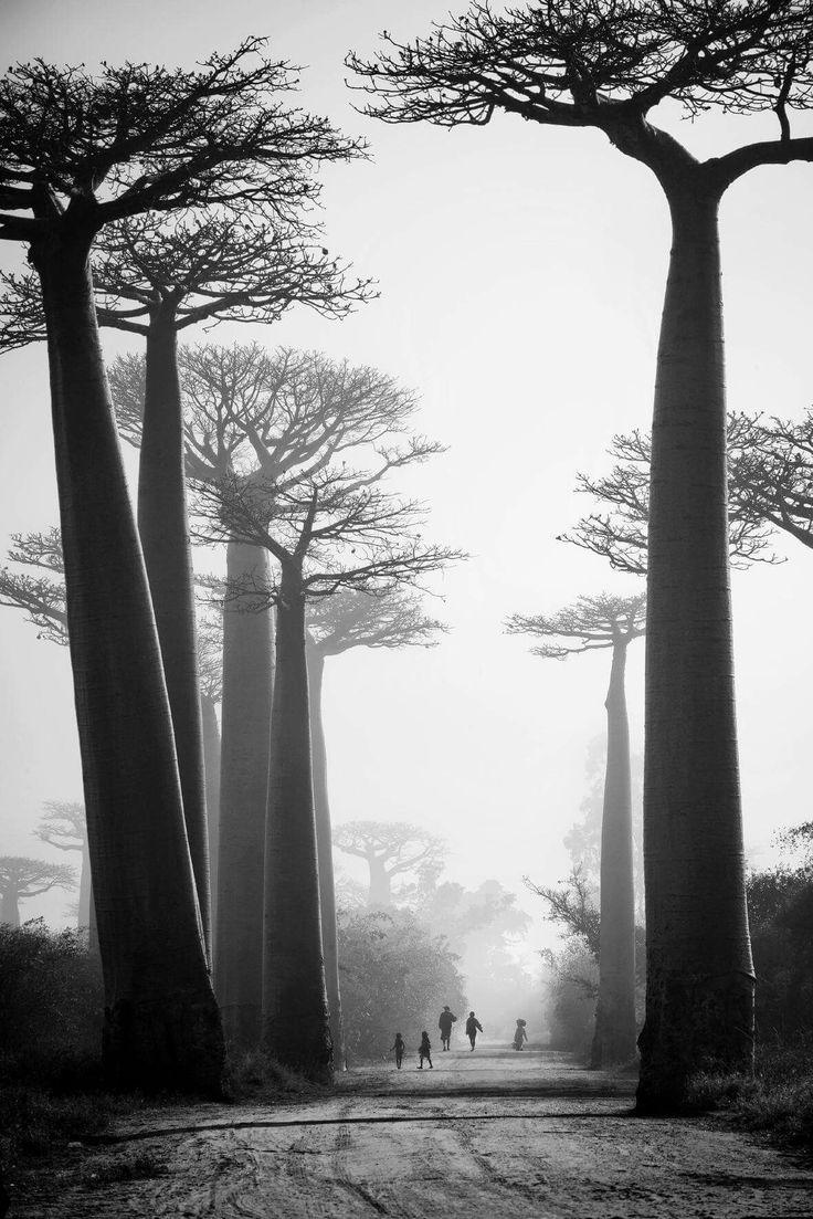 Pierrot Men. Allée des baobabs; Morondava, Madagascar