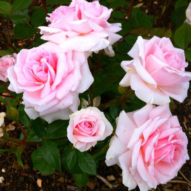 126 Best Images About Rose Garden On Pinterest Gardens