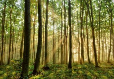 Bøgeskov, træer, stammer - Skov om morgenen P97216 køb billig fototapet med træer og stammer og bøgetræer