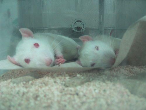 Una organización que representa a L'Oréal, Procter & Gamble, Unilever y a otras empresas se opone enérgicamente a los esfuerzos de la India para acabar con la experimentación con animales para cosméticos. Únete a PETA en instar a estas empresas a que ayuden a acabar con los ensayos crueles y obsoletos en animales.