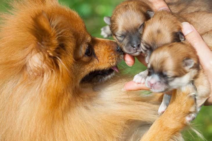 """Aren't my babies beautiful?""...  Click on this image to find more cute #Pomeranian #puppies pictures"
