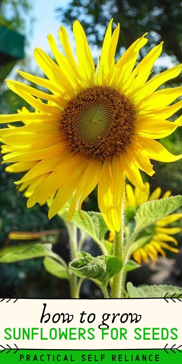 How To Grow Sunflowers For Seeds In 2020 Growing Sunflowers Planting Sunflower Seeds When To Plant Sunflowers
