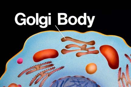 what are Golgi bodies? A Golgi Body or complex is made up ...