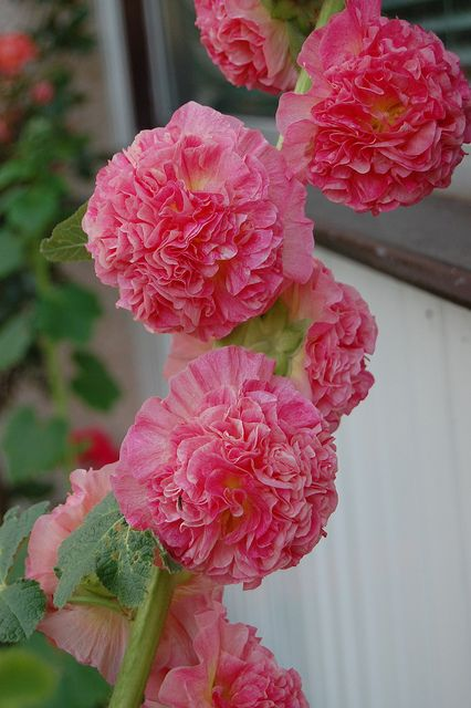 Double Hollyhock - grows in sandy soil (plant these to help save the bees)