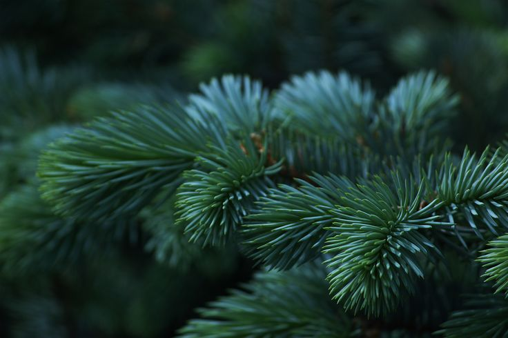 Everlasting green #tree #nature #green