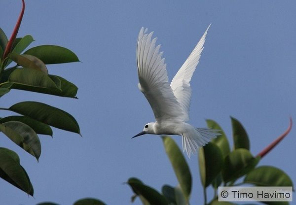 2010-03-19 White Tern in French Polynesia.