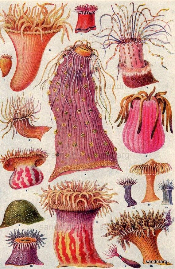 mediterranean, atlantic, european and american anemones, 1923