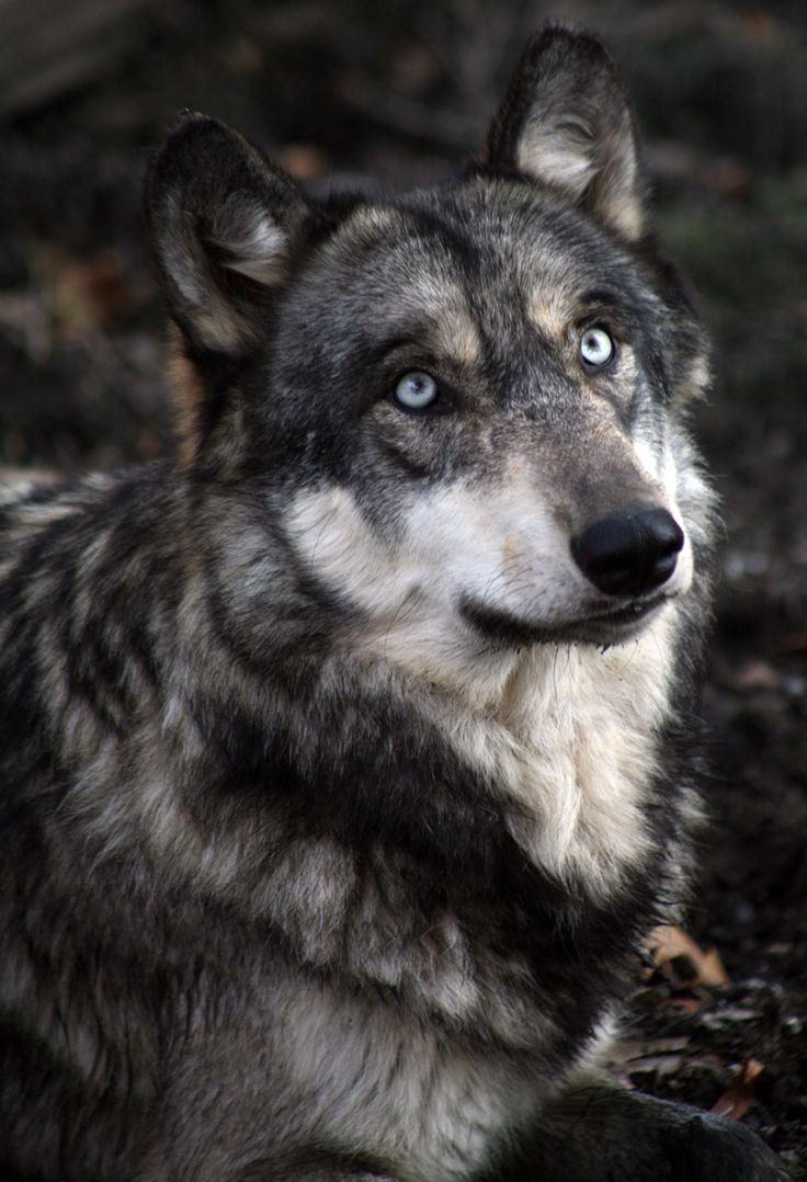Más tamaños | Wolf Park | Flickr: ¡Intercambio de fotos!