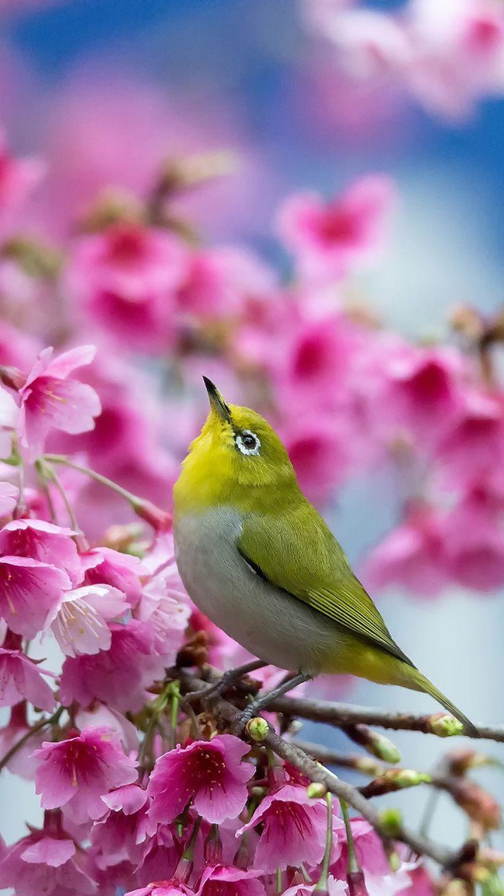 spring, cherry, branch, flowers, beauty, japanese white-eye