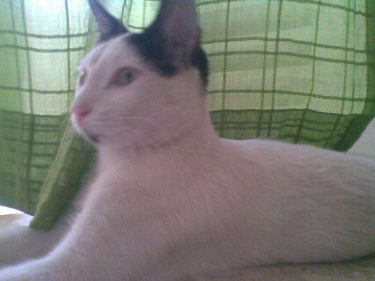 Mau ... The royal cat