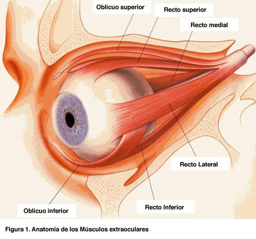 Estructura de los músculos que actuan sobre el ojo humano.