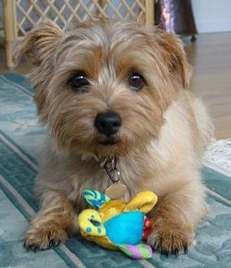 Cute Norfolk Terrier Puppy wanting to play with owner