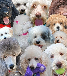 Available Poodles,NorCal Poodle Rescue, SF Bay Are