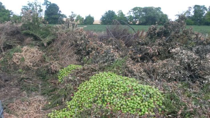 Prebierka plodov v jablkovom sade môže pre nezainteresovaného človeka vyzerať ako plytvanie