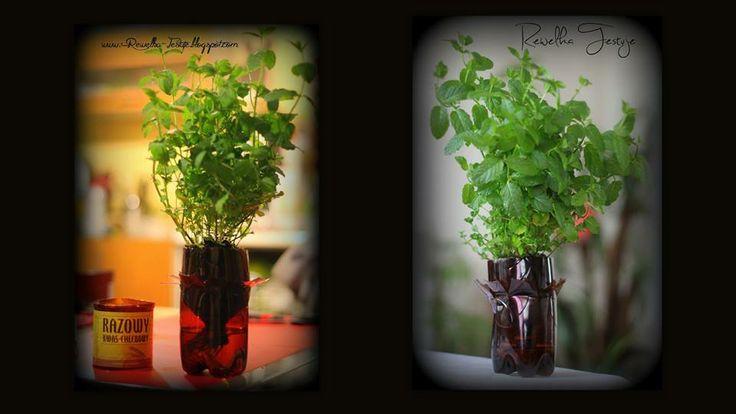 Bądźmy eko - moja mięta zasadzona w butelce po kwasie chlebowym rośnie jak na drożdżach :D