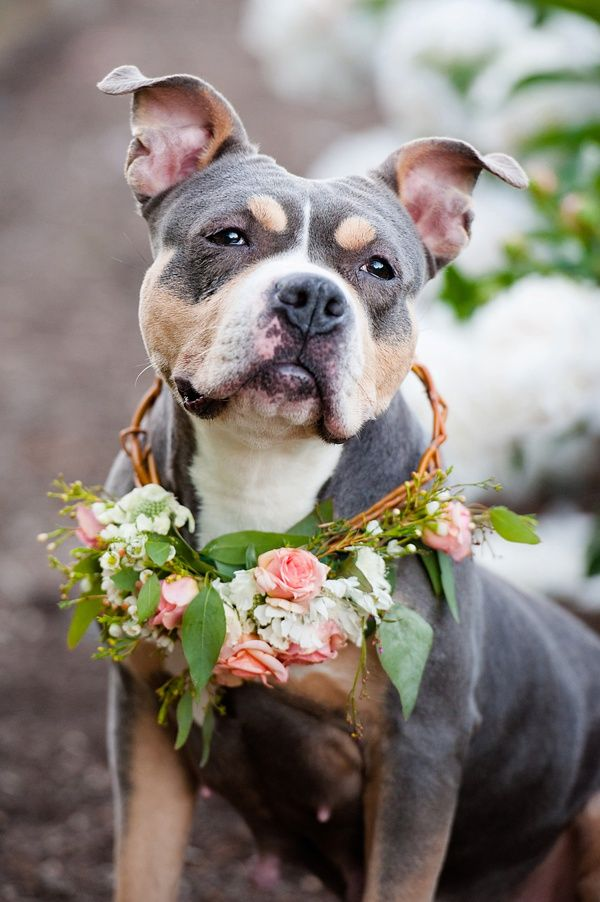 Bailey has been adopted! © Jenny Karlsson Photography   Adoptable Pit bull from Biggies Bullies in Pittsburgh, PA See more:  http://www.biggiesbullies.com/adoptable-dogs.html