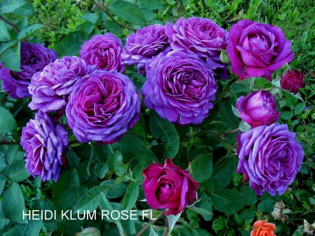 heidi klum rose 630 472 rose pinterest. Black Bedroom Furniture Sets. Home Design Ideas