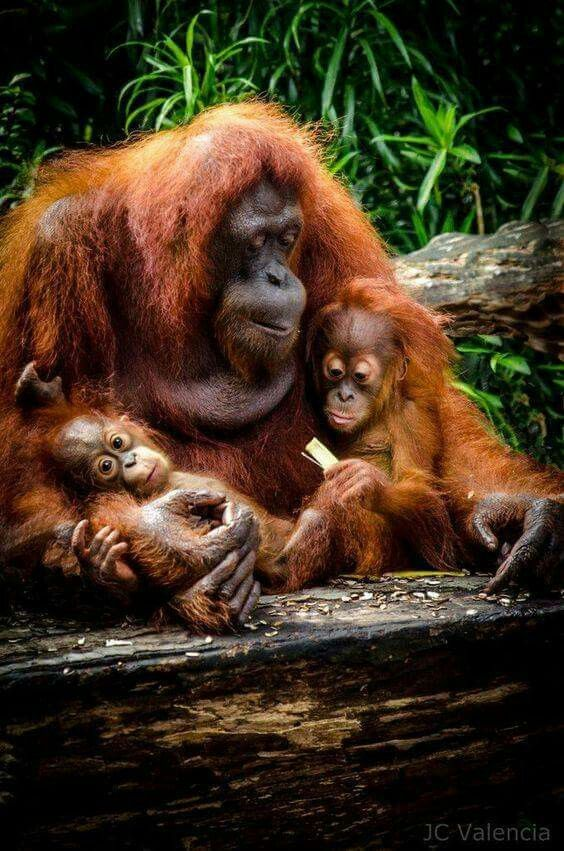 Orangutans. Orangutan family.  PLEASE help SAVE our cousins from EXTINCTION: BOYCOTT products that contain PALM OIL, or PALM OIL DERIVATIVES. Help SPREAD THE MESSAGE...