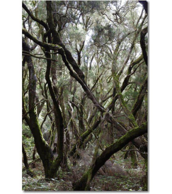 Dieses Photo entstand im Herbst 2015 im Zauberwald von Las Creses auf La Gomera.