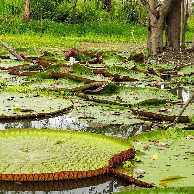 Giant lily pads in a pond near the village of Puerto Miguel on the Peruvian Amazon. #exploreperu #vistatravels #peruvianamazon #traveltuesday