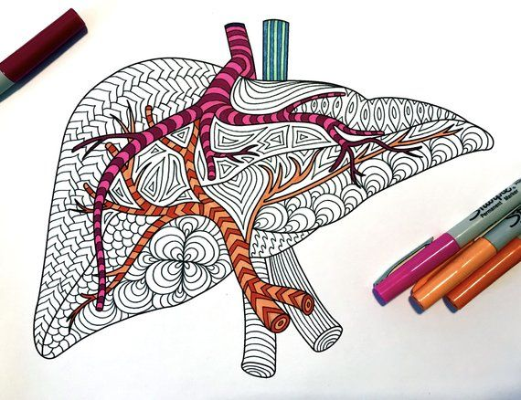 Liver Human Anatomy Pdf Zentangle Coloring Page In 2020