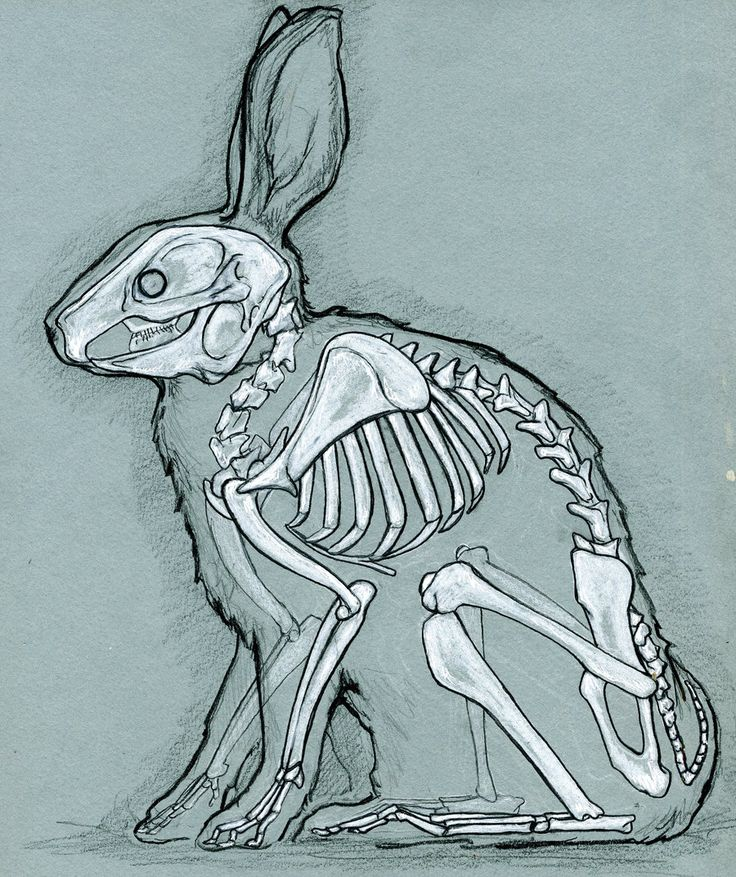 Rabbit anatomy by bigredsharks.deviantart.com on @deviantART