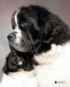 Landseer Newfie mommy and baby