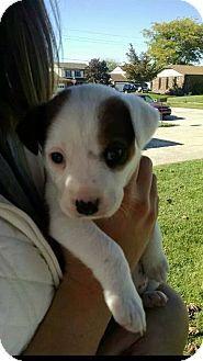 Garden City, MI - German Shepherd Dog/Boxer Mix. Meet Betty, a puppy for adoption. http://www.adoptapet.com/pet/11825511-garden-city-michigan-german-shepherd-dog-mix