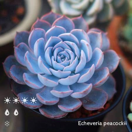 Echeveria peacockii (蓝石莲 -皮氏蓝石莲)