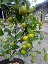 Pohon buah jeruk cangkokan | Jeruk manis, sankis, bali, purut dll ...