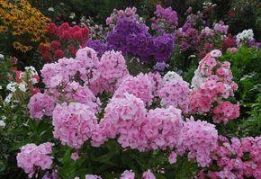 Как правильно ухаживать за флоксами? | Дачный сад и огород
