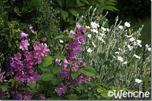 Wenches hage: Delphinium 'Astolat'