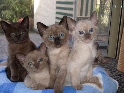 I want a Tonkinese kitten.