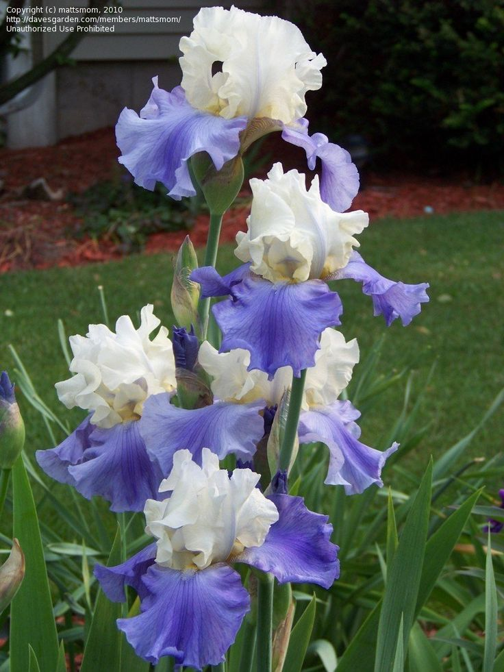 View picture of Tall Bearded Iris 'Stairway to Heaven' (Iris) at Dave's Garden.  All pictures are contributed by our community.