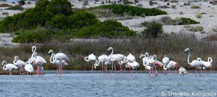 Flamingos στη λιμνοθάλασσα, 24/09/2016.