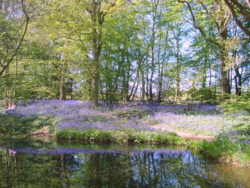 bluebell wood england | Bluebell Woods : 1104515 - PicturesOfEngland.com