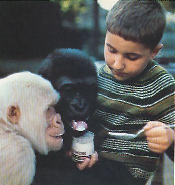 """Copito de Nieve disfruta de la compañia de los niños españoles en frecuentes encuentros. Los chiquillos se sienten fascinados con la presencia del gorila albino a quien ellos llaman """"el gorila de vainilla Los guardianes supervisan siempre los encuentros, evitando los excesos de entusiasmo de Copito."""