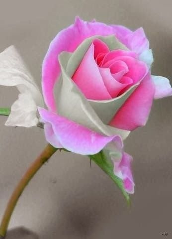 Green And Pink Roses 75 best images ...