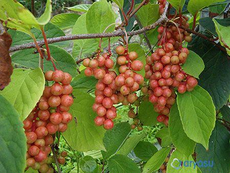 [오미자 수확시기 / 오미자 발효액 먹는 방법]   오미자는 꽃이 피고 나서 120~125일 정도에 수확하게 되는데, 9월 10~15일 사이가 된다. 지역별 날씨나 환경에 따라 차이가 나지만(8월 말에서 9월 중순), 대부분 추석 전후가 된다. 이 시기가 지나면 오미자가 너무 익어서 수확하기 어려워진다.