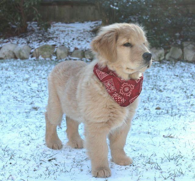 Clyde 3 months. golden retriever puppy