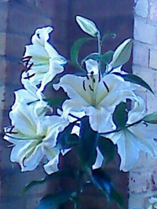 Highly fragrant lily, great pleasure every summer !!