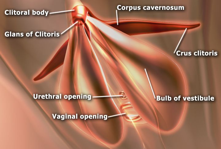 From Wikiwand: The sub-areas of the clitoris—areas include clitoral glans, body, crura. The vestibular bulbs and corpora cavernosa are also shown.