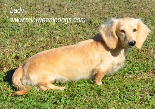 Lady is expecting long hair english cream miniature dachshund puppies!  Perfect Valentines Day gift!